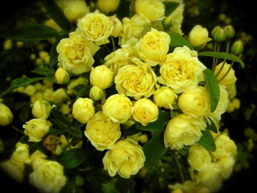 Los rosales pitiminí producen flores de varios colores