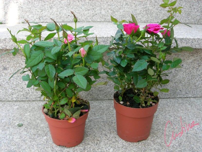 Los rosales mini se pueden comprar en cualquier vivero