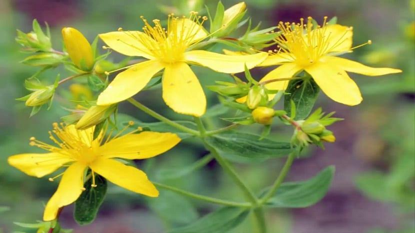 toxicidad de la hierba de san juan