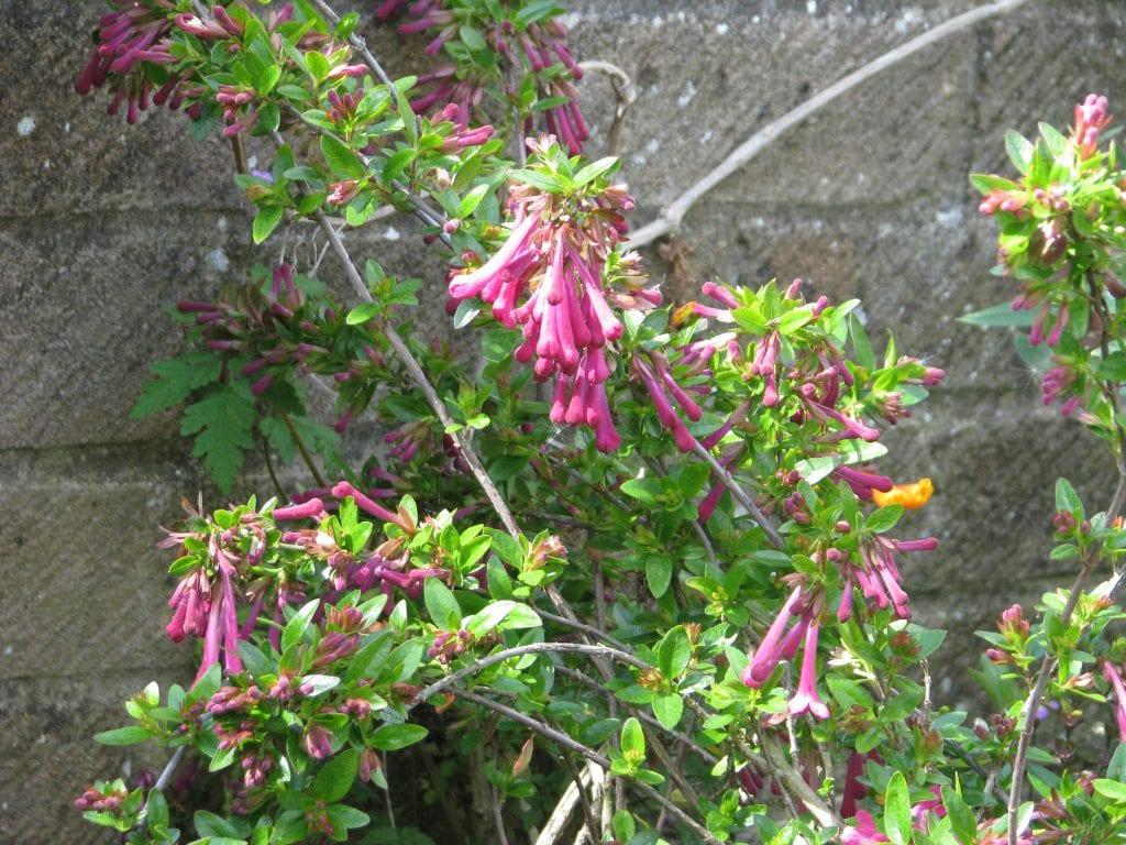 La planta de Abelia floribunda es un arbusto