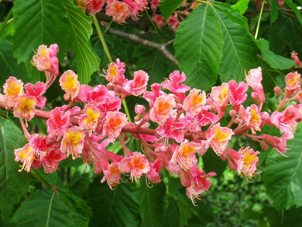 Castaño de flor rosa