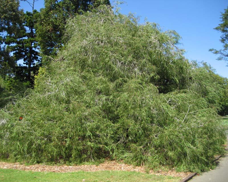 Árbol de Agonis flexuosa