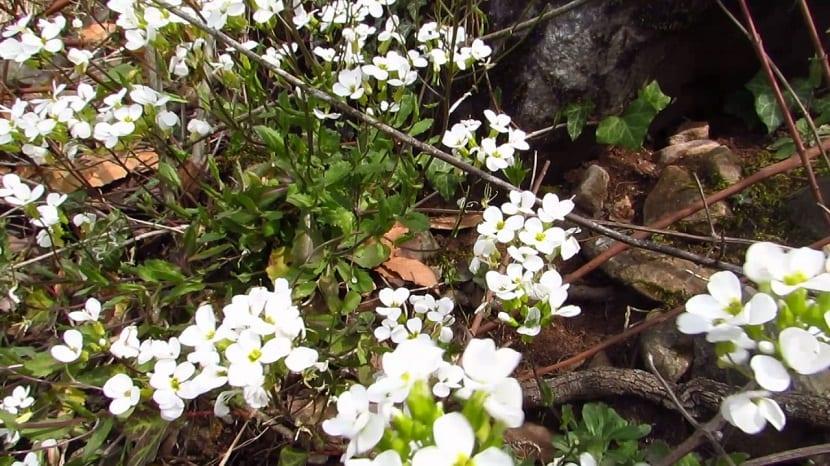 La Arabis es una planta muy resistente de tipo herbacea