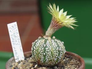 Astrophytum asterias cv Superkabuto