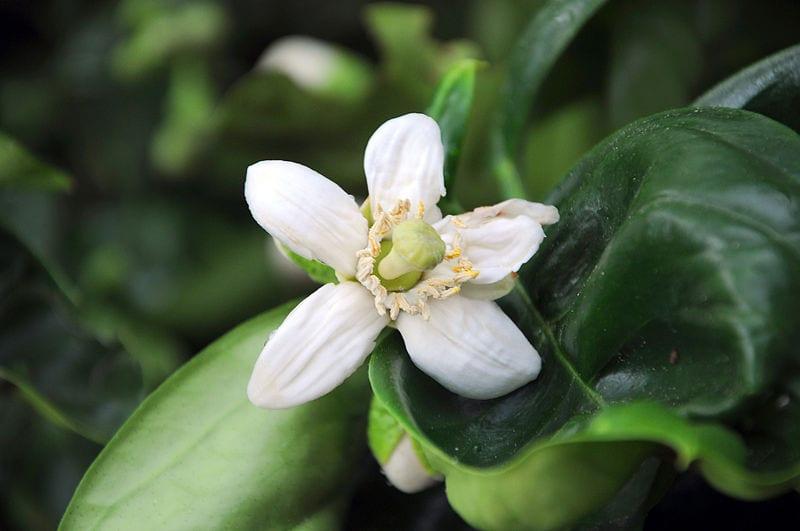 Flor de Citrus maxima