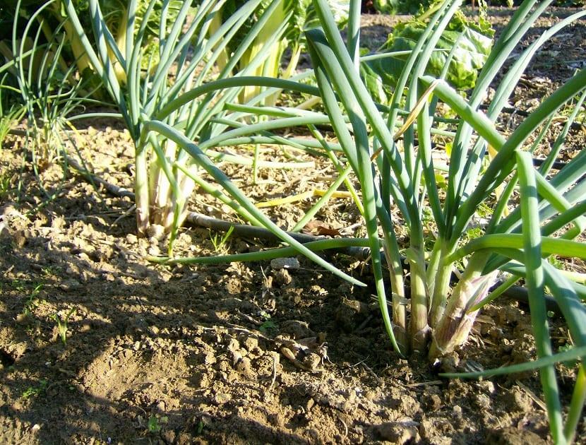 Cultivo de la cebolla de verdeo