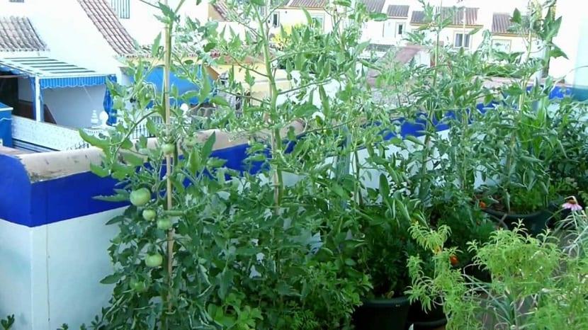 Cultivos crecidos en un macetohuerto