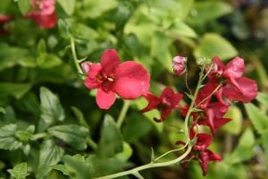 Flores de la Diascia