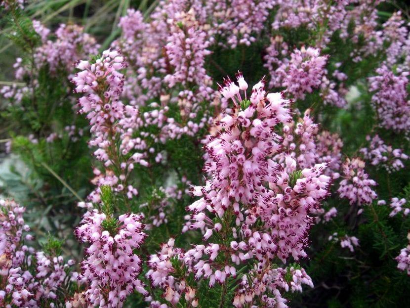 La Erica multiflora da flores pequeñas y rosadas
