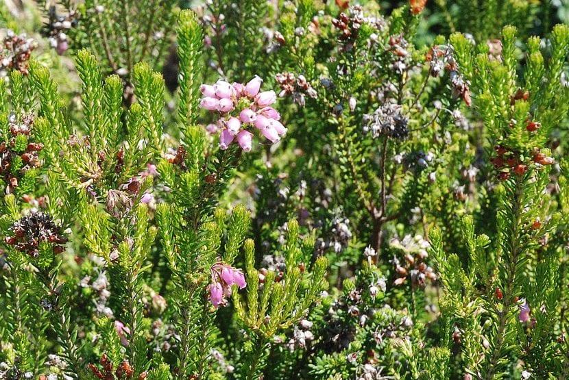 Vista de la planta de Erica multiflora