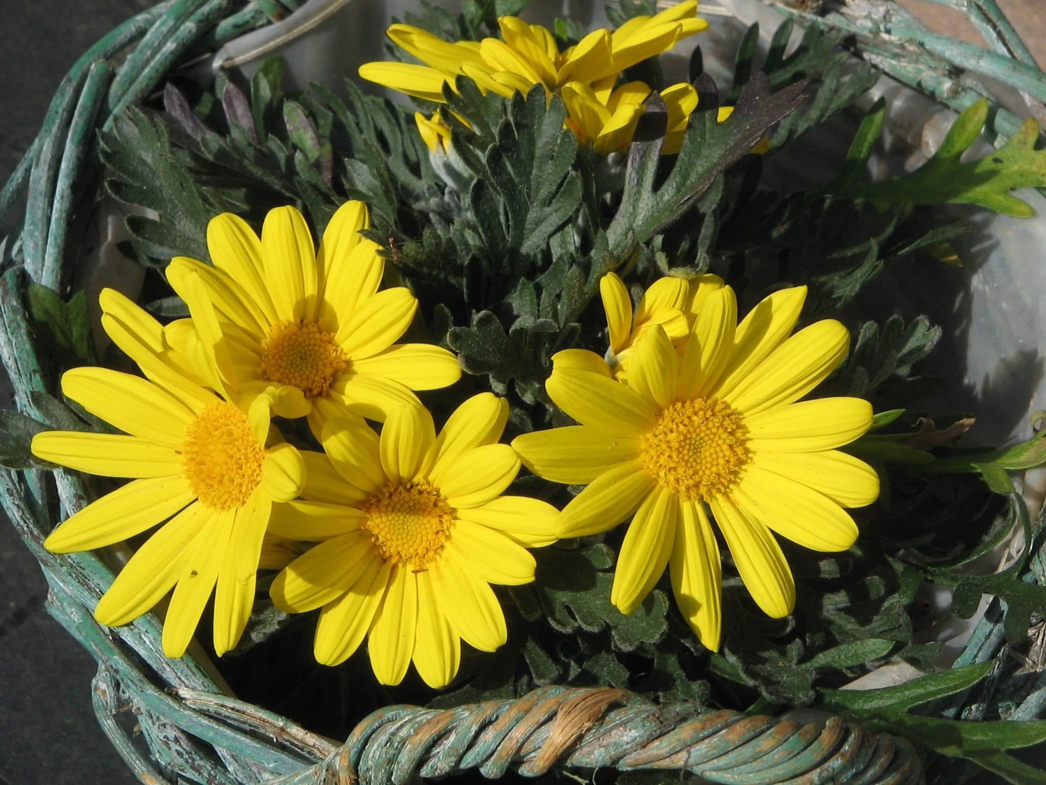 Las flores del Euryops son amarillas