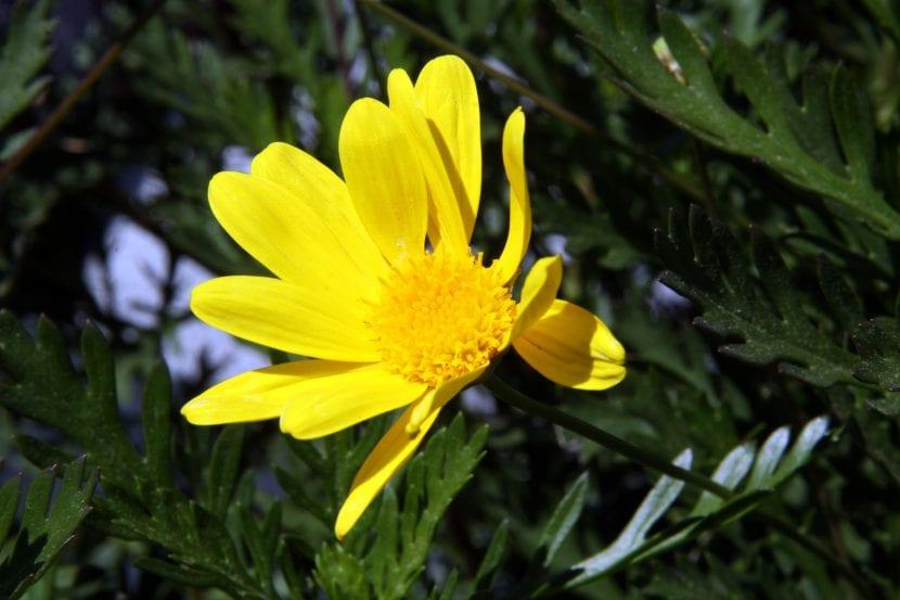 El Euryops es una planta muy fácil de cuidar