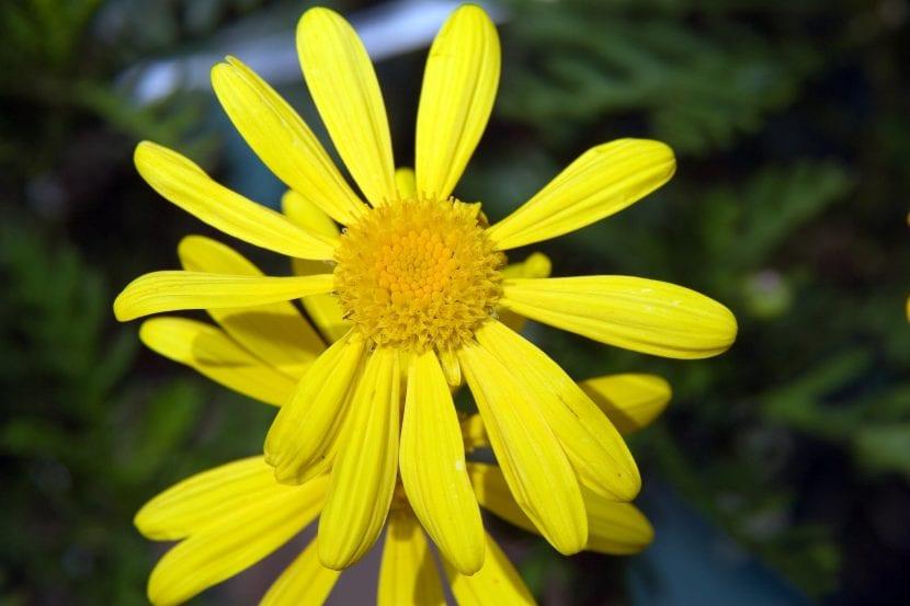 La flor del Euryops parece una margarita amarilla