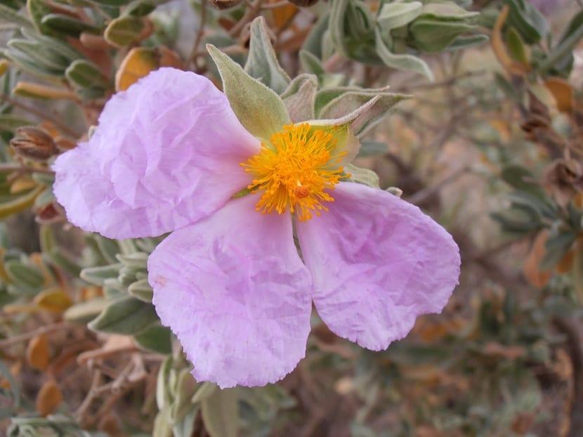Flores de la estepa blanca