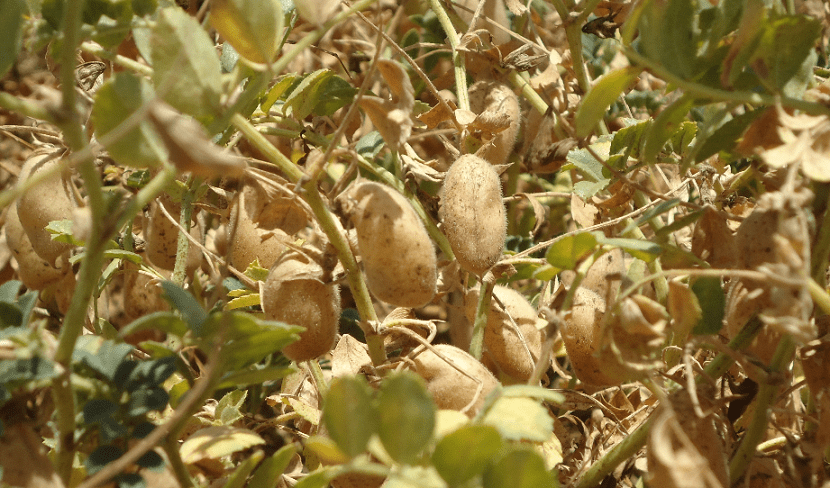 Garbanzos cultivados en invierno