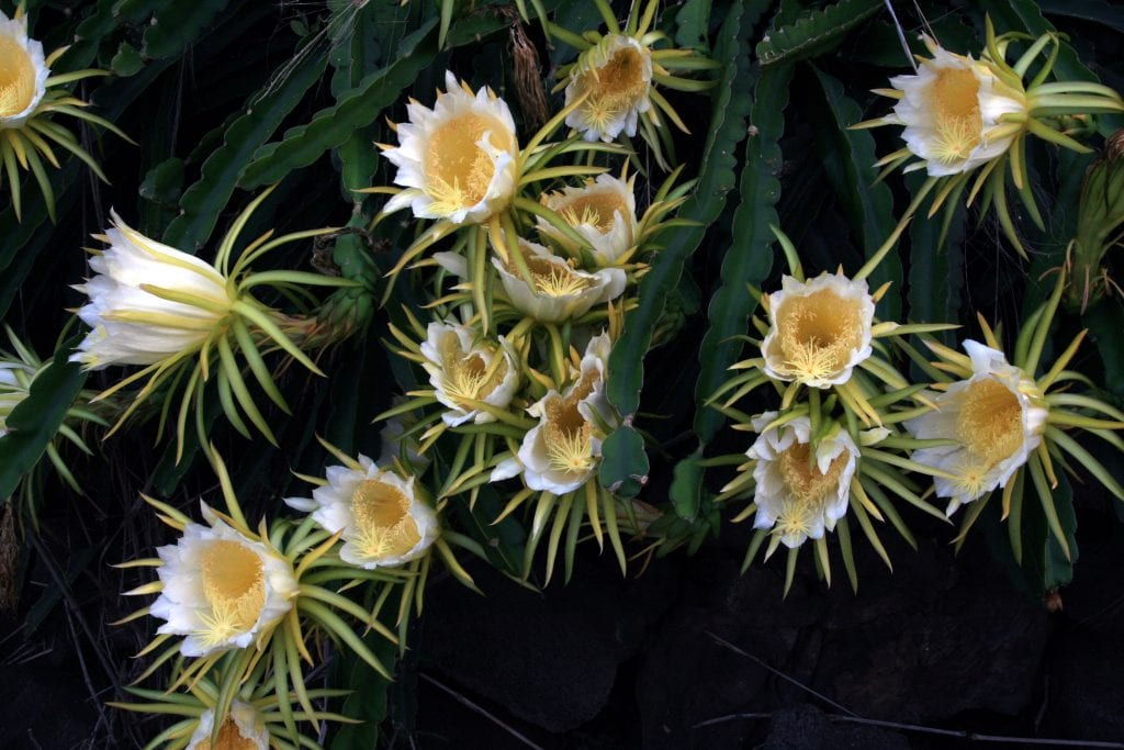 Las flores del Hylocereus undatus o pitahaya son blancas y grandes
