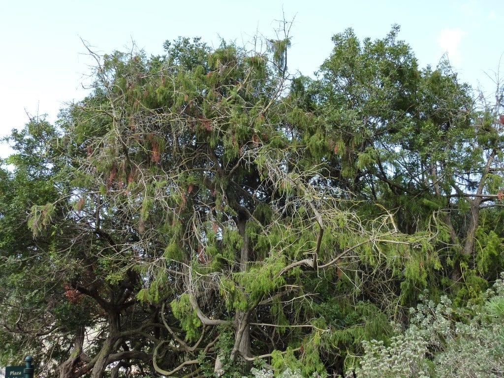 Juniperus cedrus