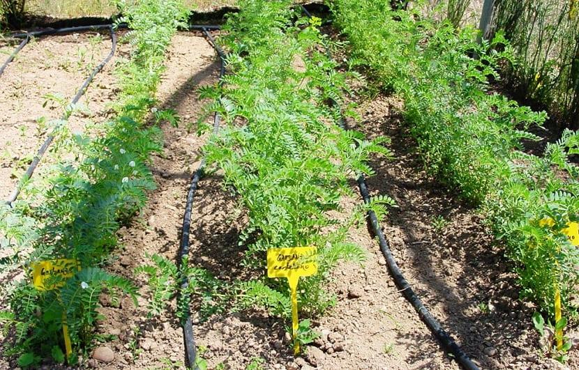 Labores para sembrar el garbanzo