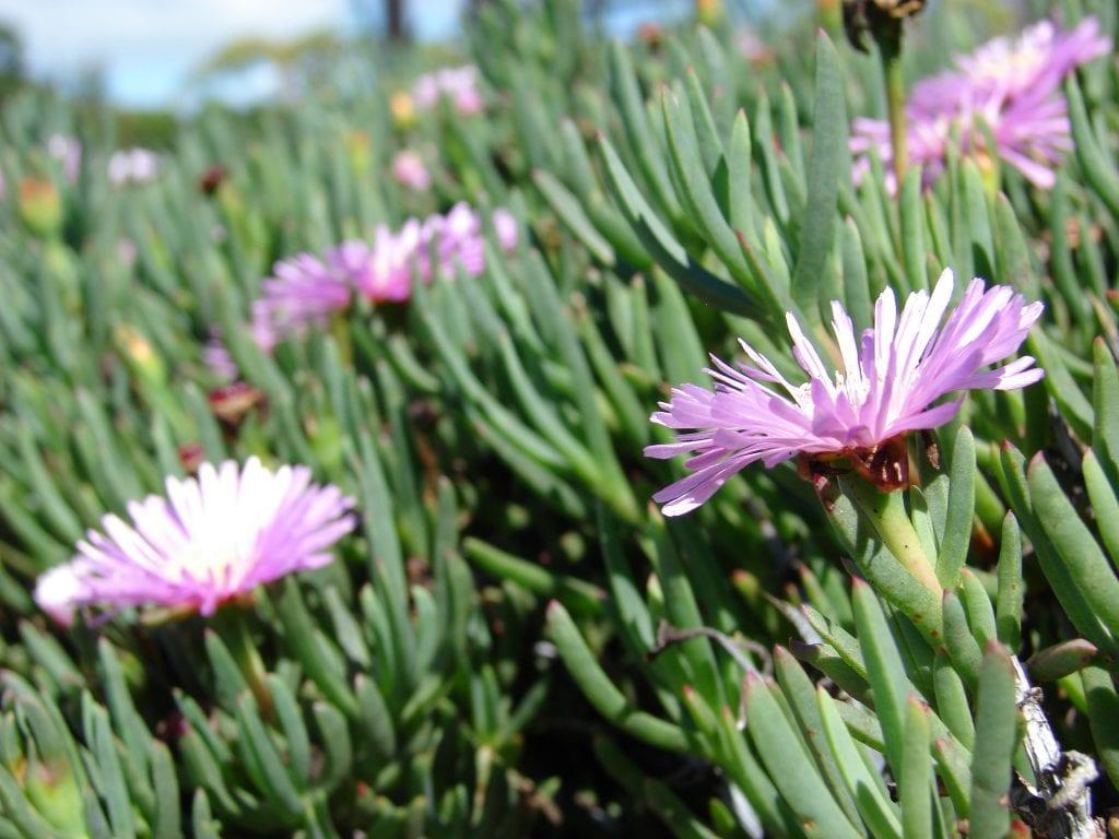 Hojas del Lampranthus roseus