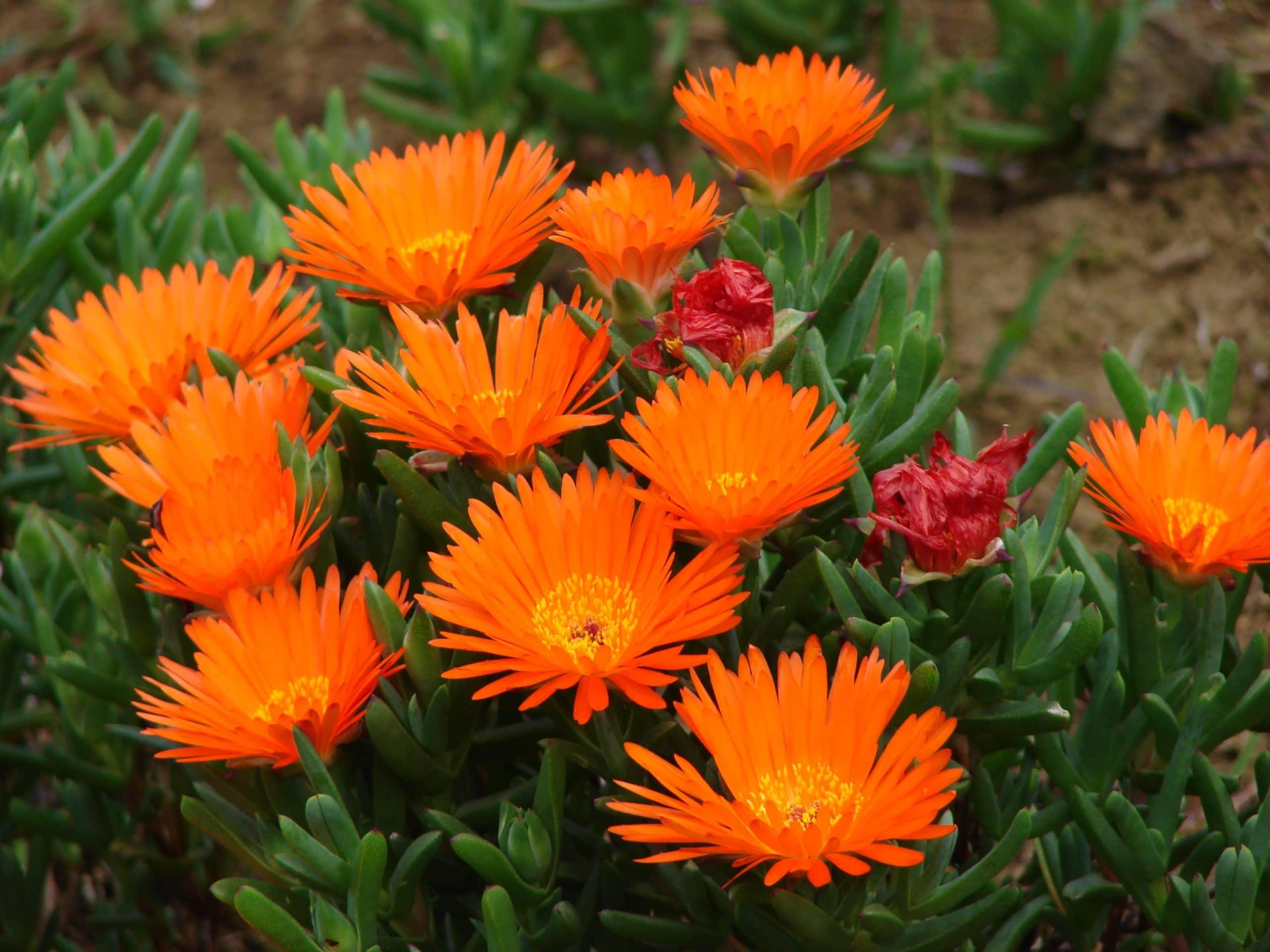 Flores del Lampranthus