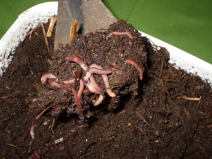 Lombrices en la tierra de cultivos