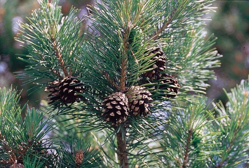 Hojas del Pinus sylvestris