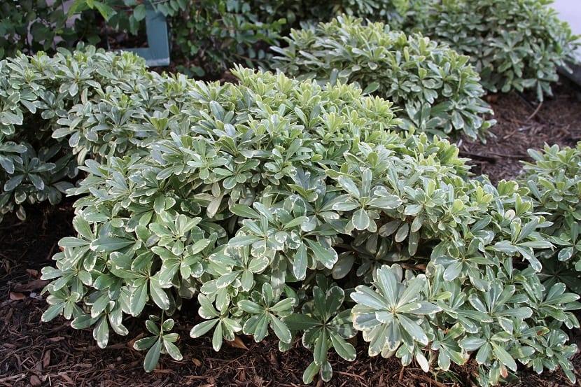 es una planta que pertenece al género Pittosporum