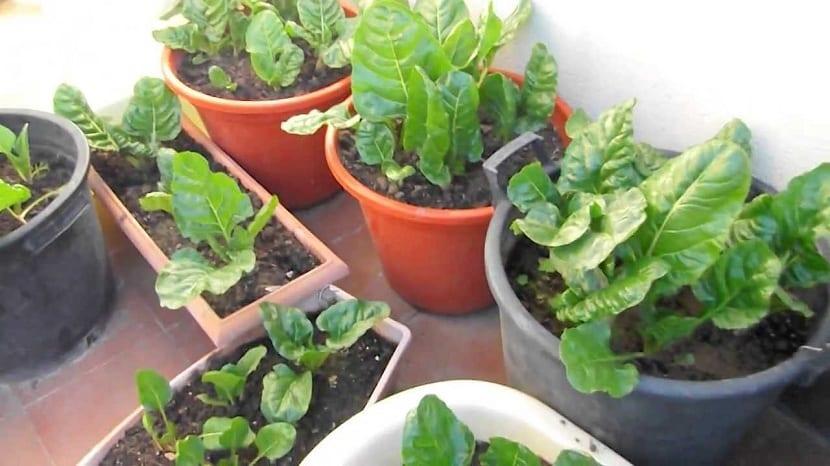 Plantas necesarias en un macetohuerto