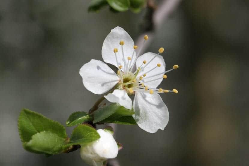 Flor del Prunus insititia