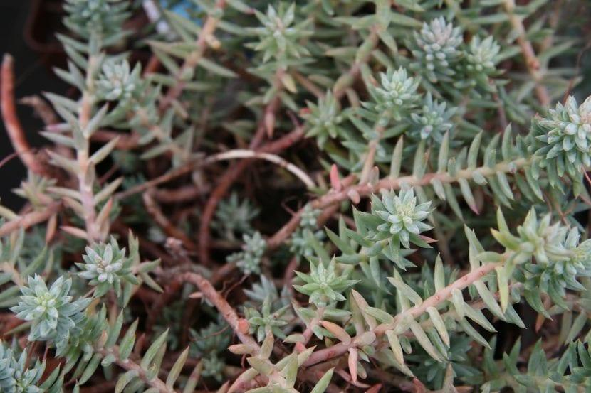 Las hojas del Sedum sediforme son suculentas