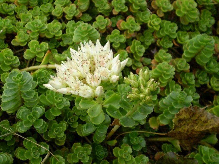 Planta de Sedum spurium