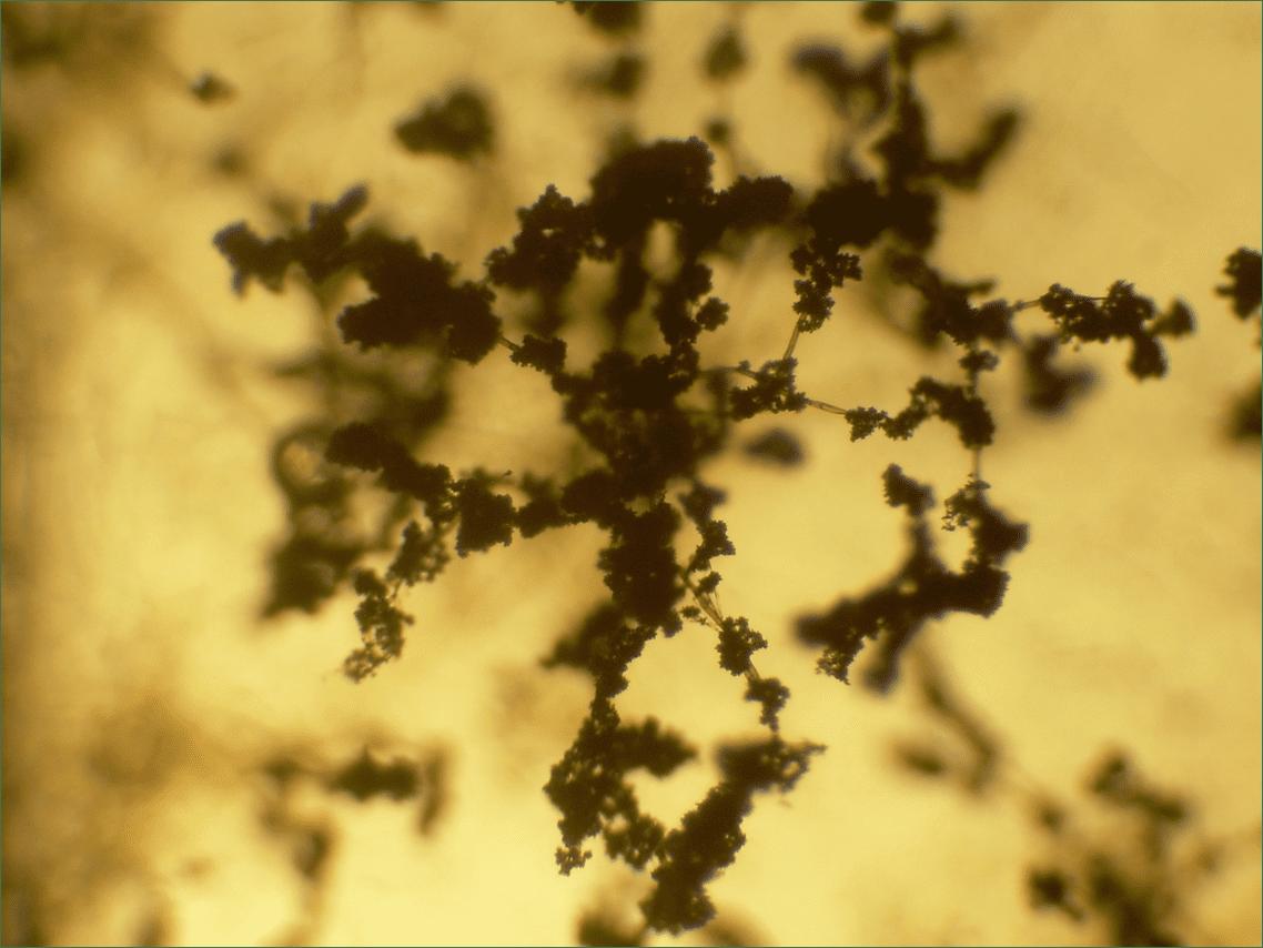 Trichoderma conidiophores