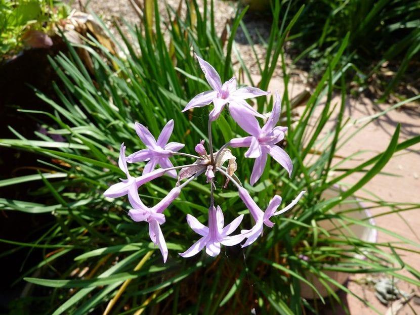 Planta Tulbahia violacea