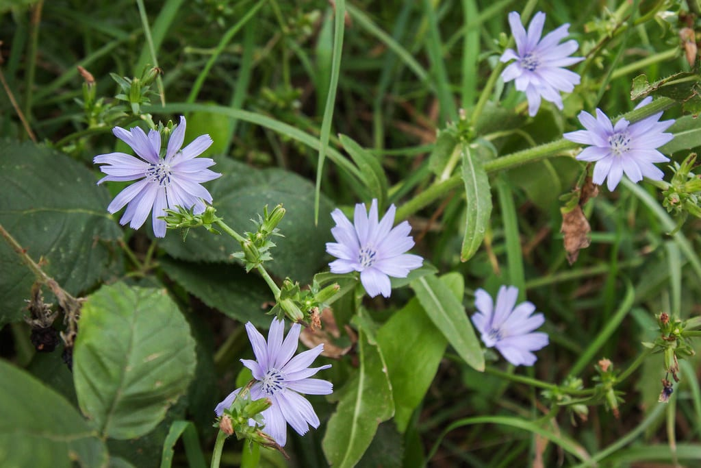 Achicoria silvestre en flor