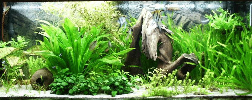 El helecho de Java se utiliza como planta de acuario grande