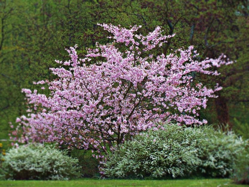 Vista de un Syringa vulgaris en un jardín