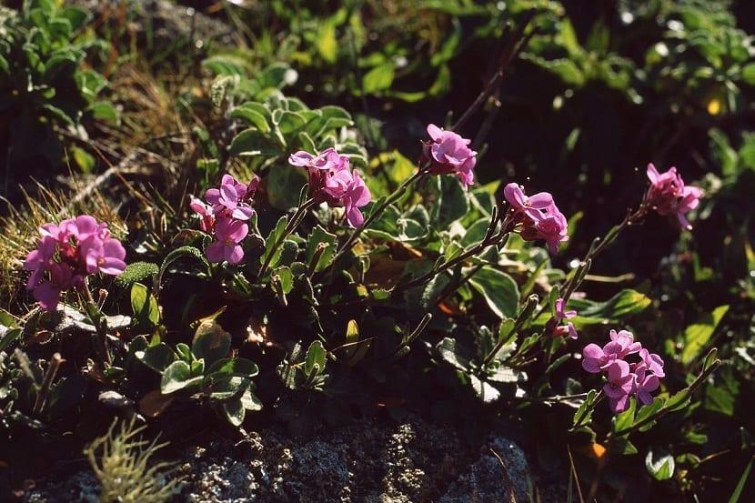 Cuidados de la Arabis blepharophylla