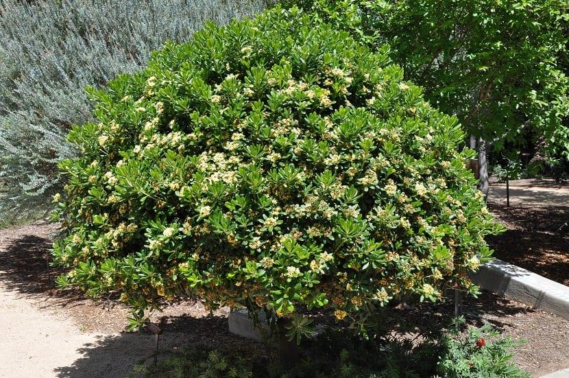 forma parte de las plantas que tiene mayor extensión en los ribetes al igual que en lo setos para poder decorar los jardines