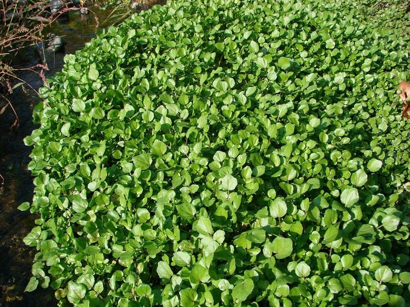 El Nasturtium officinale o mejor conocido como el berro de agua, es una planta acuática