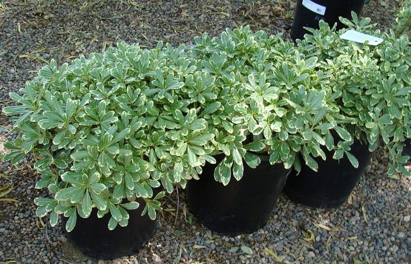 Esta es una planta que debemos trasplantar todos los años para el mes de abril