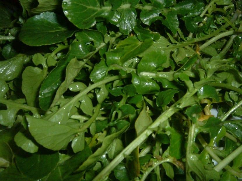 El Nasturtium officinale como planta acuática