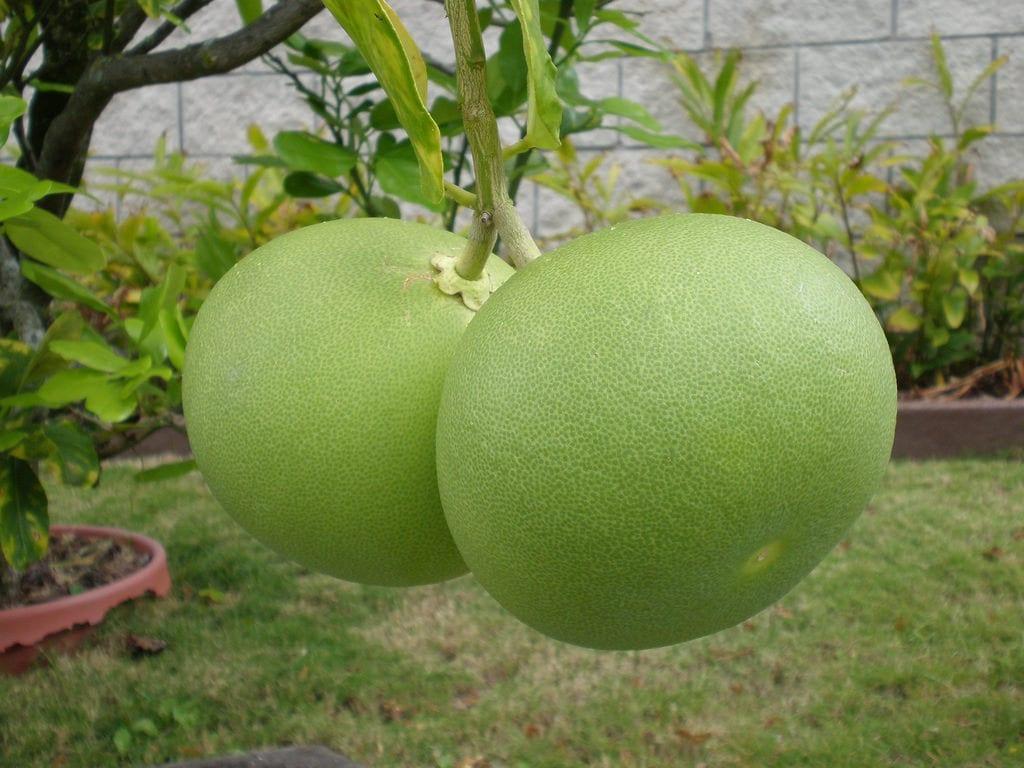 Fruto de Citrus maxima
