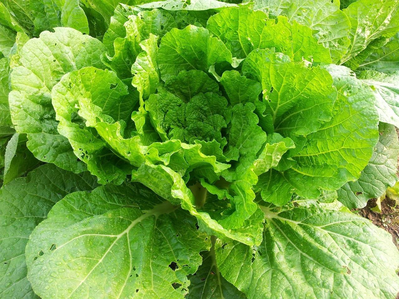 La col china es una planta hortícola muy fácil de cuidar