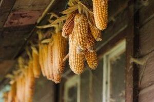 el maiz es una planta originaria de America Central