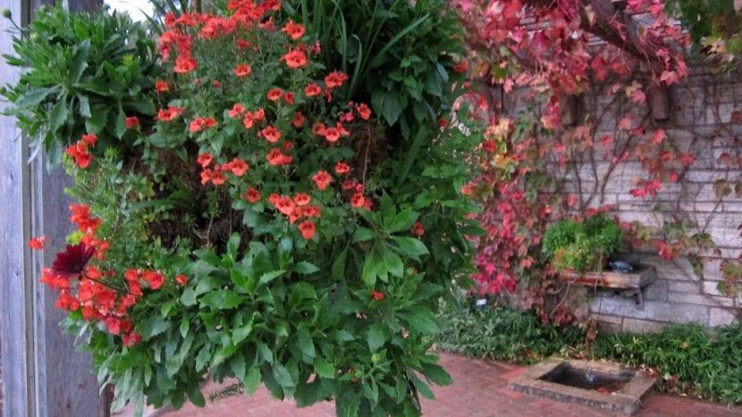 Planta de Diascia en un patio