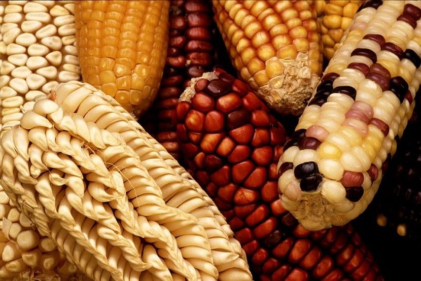 cultivar y cosechar maiz dulce
