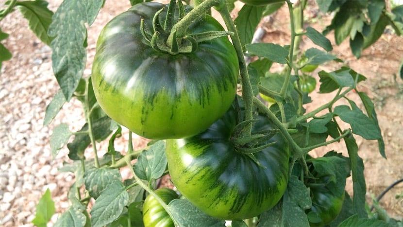 El tomate Raf lo podemos cultivar bien sea al aire libre o si lo preferimos lo podemos cultivar en un invernadero.