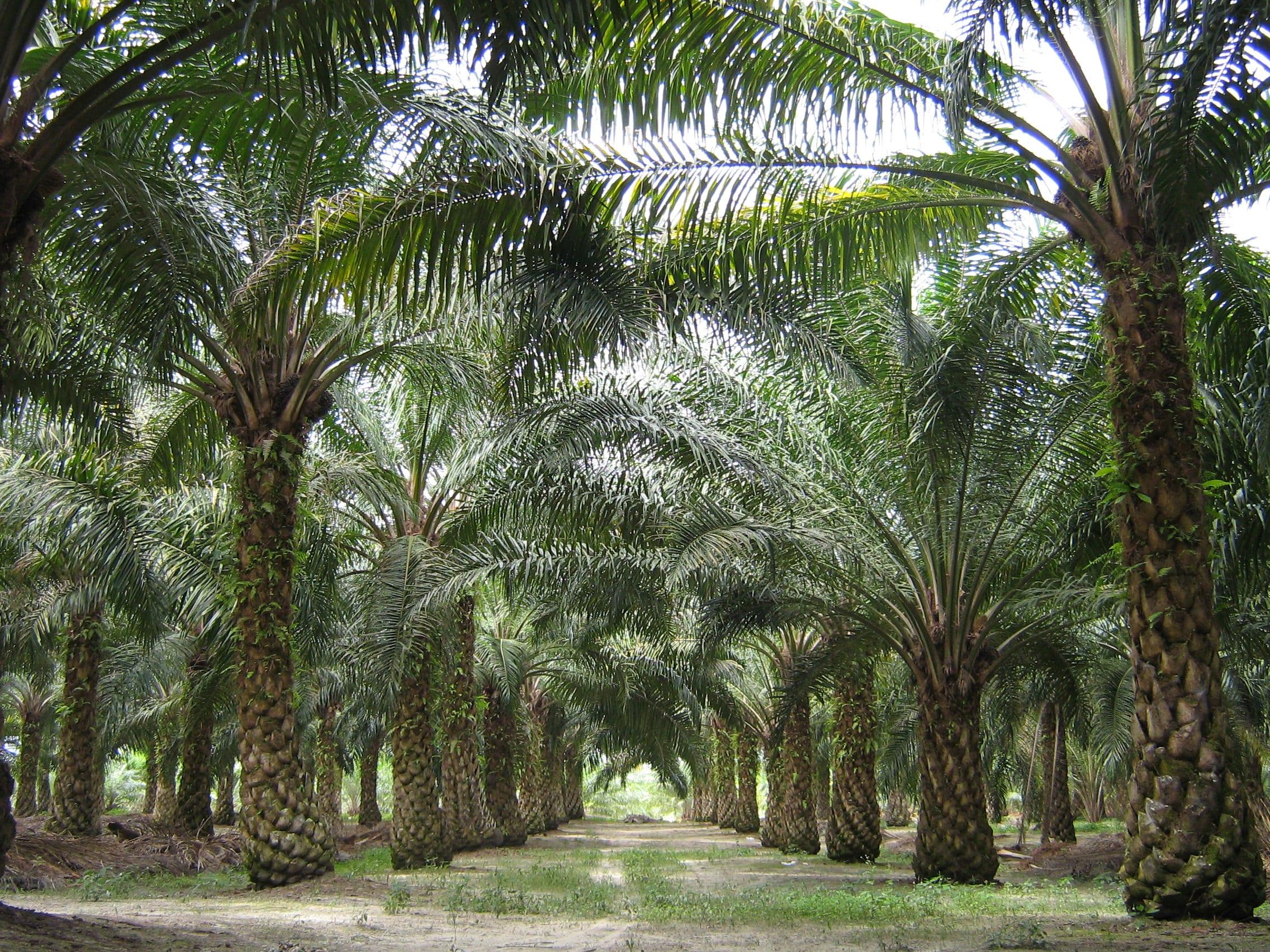 Plantación de palma aceitera