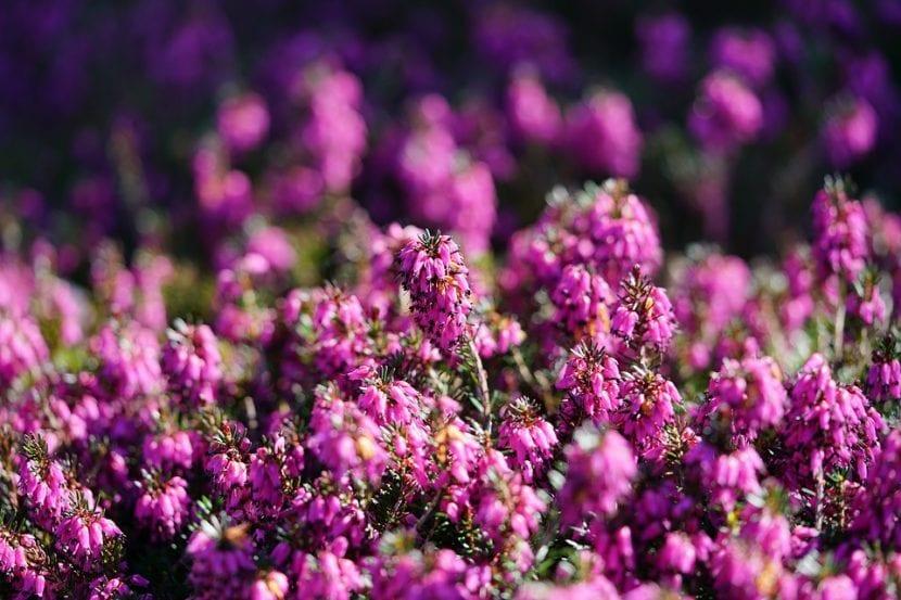 Cuando florece, la Erica multiflora es una maravilla