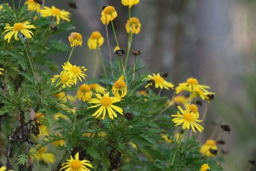 Vista de la planta de Euryops en flor